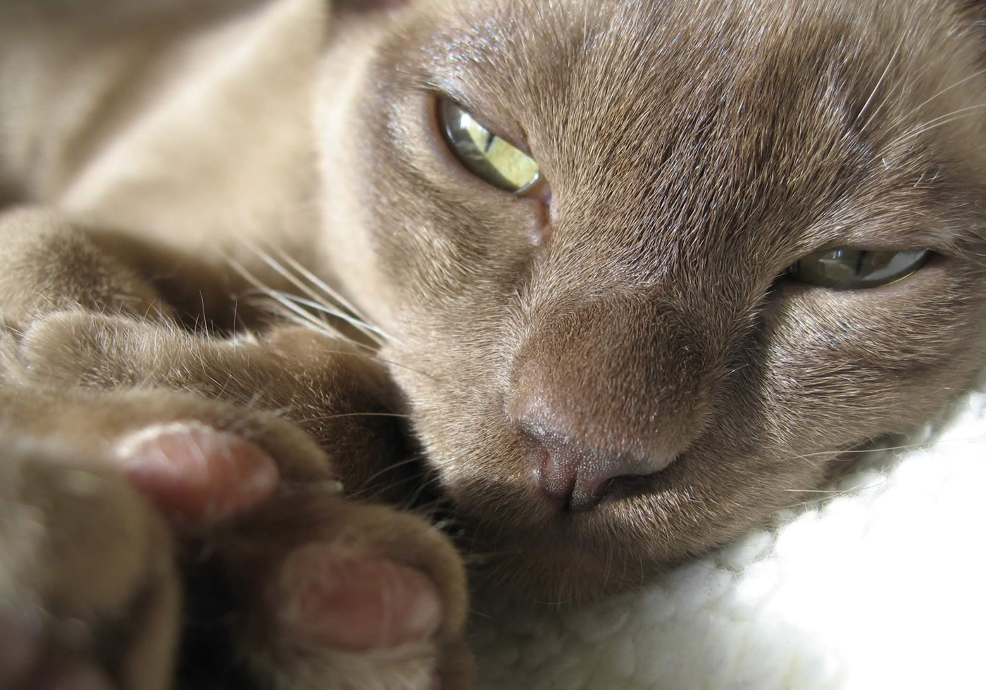 Burmese Breeders Burmese Cats And Burmese Kittens For Sale In South East England